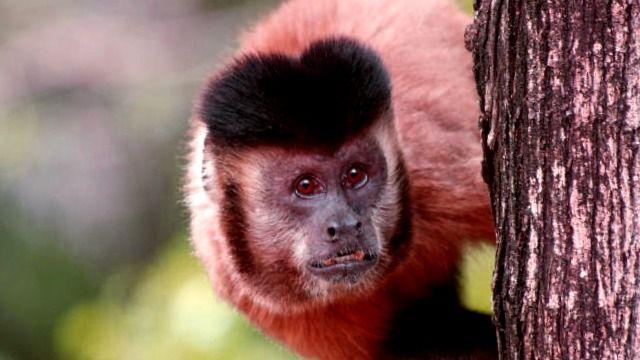 Herramientas de Mono e Ingeniosidad Humana Temprana - paleoantropologia - Capuchin 640
