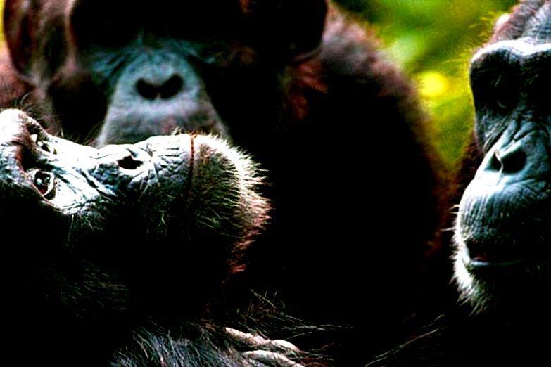 humanos, creencias y grandes simios