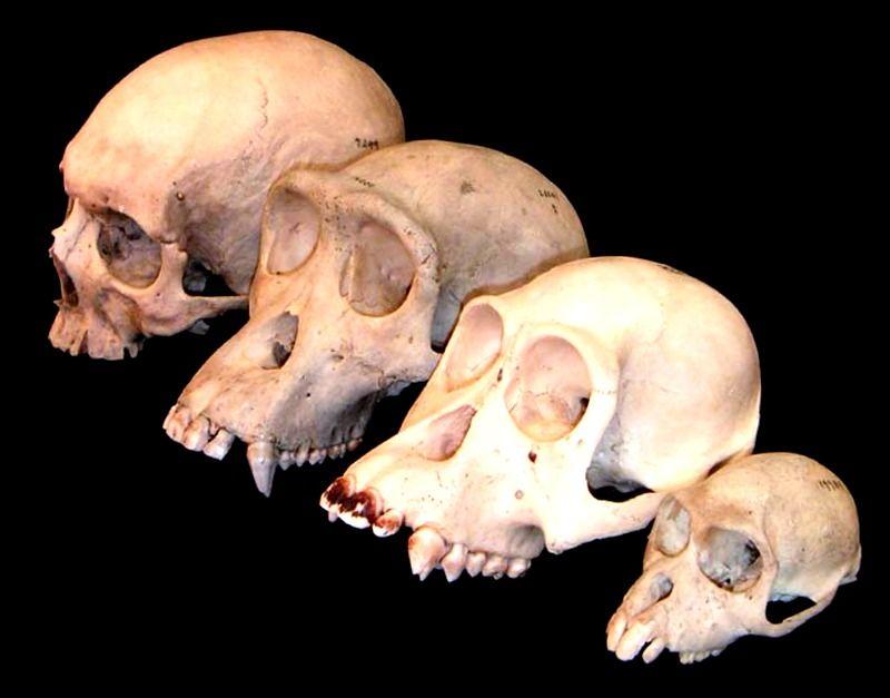 craneos de diferentes hominidos