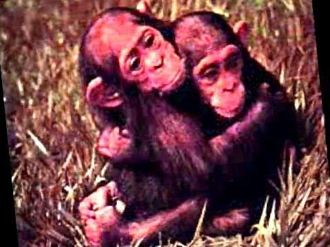 los gustos musicales de un niño chimpánce