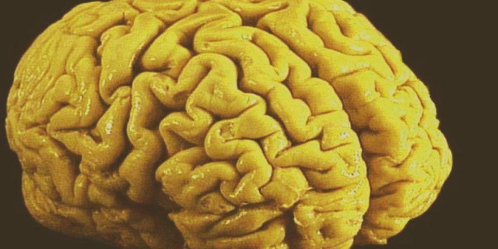 el tamaño del cerebro humano actual se dio poco a poco