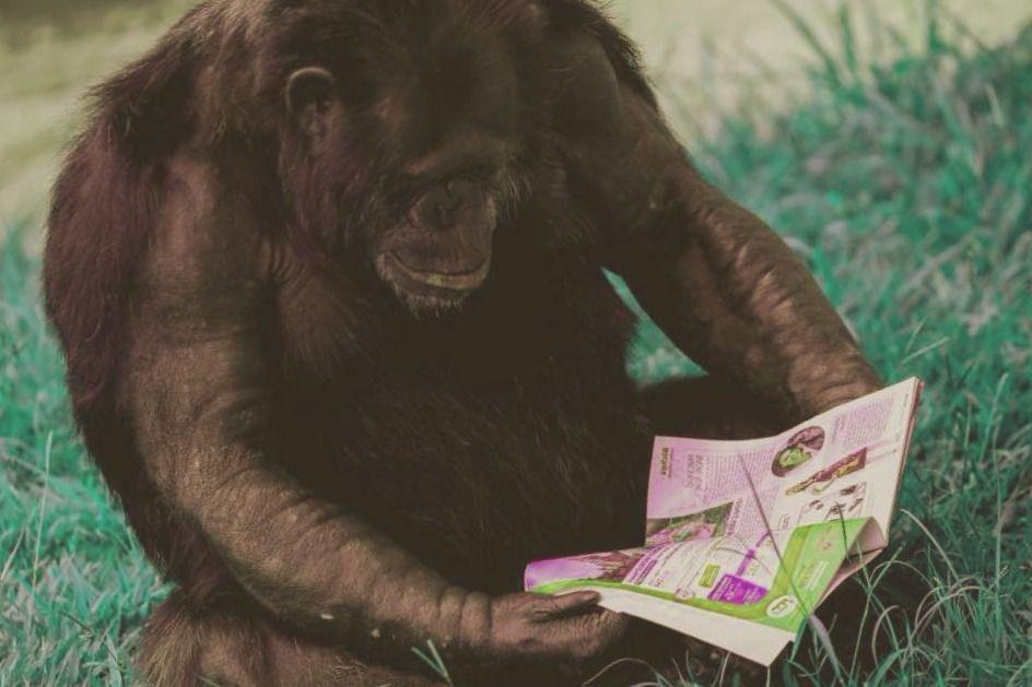 Los chimpances son muy inteligentes y tienen fuerza de voluntad
